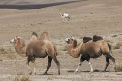 Three Bactrian camels Stock Image