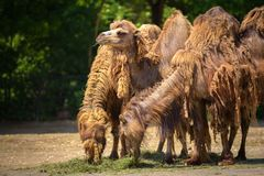 Three Bactrian camels feeding Stock Images