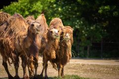 Three Bactrian camels feeding Stock Photography