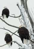 Three Bald  Eagles Royalty Free Stock Images