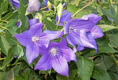 Three Balloon flowers Royalty Free Stock Images