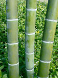 Three bamboo poles. Vertical photo of three bamboo poles in tropical forest Royalty Free Stock Images