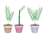 Three Bamboo Tree in Ceramic Flower Pots Stock Photography