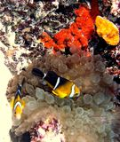 Three-Band Anemonefish w/ Bubble-Tip Anemone. Three-Band Anemonefish are known only in the Marshall Islands in the central Pacific Ocean Royalty Free Stock Photography