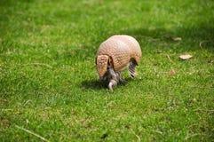 Three banded armadillo stock photography