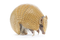 Three Banded Armadillo Royalty Free Stock Photography