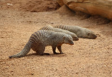 Three banded mongoose (Mungos mungo) on the ground. Biopark Royalty Free Stock Images