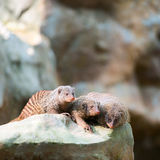 Three banded mongooses Royalty Free Stock Photos