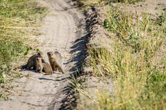 Three Banded mongooses on the road. Stock Images