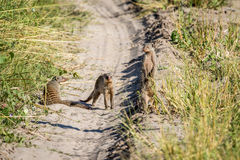 Three Banded mongooses on the road. Royalty Free Stock Image