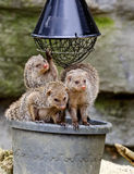 Three banded mongooses Stock Photos