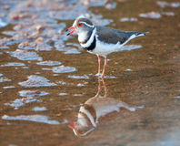 Three banded plover. Standing in shallow water with its reflection Stock Photo