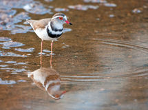 Three banded plover. Standing in shallow water with its reflection Stock Image