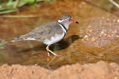Three-banded Plover Stock Images