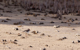 Three-banded Plover Stock Photos
