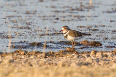 Three-banded plover Royalty Free Stock Photography