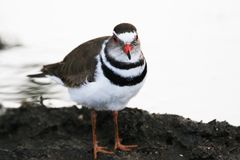 Three-banded Plover (Charadrius tricollaris) Stock Images