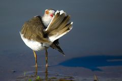 A three-banded plover (Charadrius tricollaris) Royalty Free Stock Photo