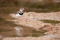 Three-Banded Plover (Charadrius tricollaris). The Three-banded Plover or Three-banded Sandplover (Charadrius tricollaris) is a small wader. This plover is Royalty Free Stock Photo