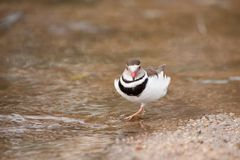 Three-Banded Plover (Charadrius tricollaris). The Three-banded Plover or Three-banded Sandplover (Charadrius tricollaris) is a small wader. This plover is Stock Photo
