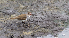 Three-banded Plover in Kruger National park, South Africa Royalty Free Stock Photo