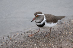 Three Banded Plover next to the water Royalty Free Stock Photos
