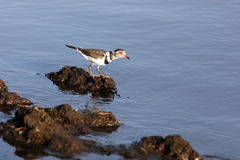 Three-banded plover on the shore. Ihe three-banded plover & x28;Charadrius tricollaris& x29; standing on the shore stock photos
