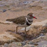Three Banded Plover Royalty Free Stock Photos