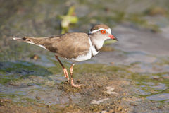 Three banded plover walking in muddy shallow water bright sunlig Stock Image