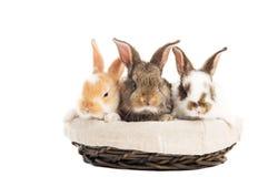 Three banny rabbit in basket Stock Image