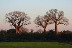 Three baobabs Royalty Free Stock Images