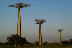 Three baobabs in perspective. Three baobab trees photographed with perspective with blue sky background Royalty Free Stock Photography