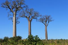 Three baobabs tree. Three baobabs lined up reaching bright blue Madagascsr sky Royalty Free Stock Image