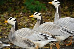 Three bar headed geese Royalty Free Stock Photos