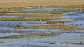 Three Bar-tailed Godwits or Limosa lapponica walk at seashore, portrait, selective focus, shallow DOF Stock Photos