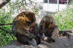 Three Barbary macaques resting in the shade of the trees. Female Barbary macaque with young suckling. Stock Photos