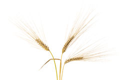 Three barley ears Stock Photography