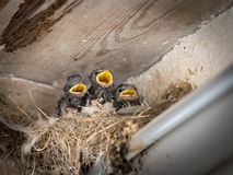 Three barn swallow chicks sitting in a nest and waiting to be fed stock image
