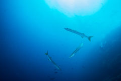 Three Barracudas Stock Images
