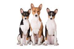 Three basenji dogs on white Stock Photos