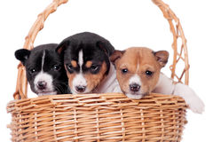 Three Basenji puppies, isolated on white Stock Images