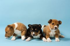 Three basenji puppies lined up in a row. Group of small dogs at isolated blue background. Three basenji puppies lined up in a row Stock Images