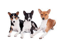 Three basenjis isolated on white. Three basenjis (tricolor, black and red color coats Royalty Free Stock Image
