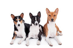 Three basenjis isolated on white. Three basenjis (tricolor, black and red color coats Royalty Free Stock Photos