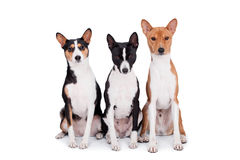 Three basenjis isolated on white. Three basenjis (tricolor, black and red color coats Stock Photography