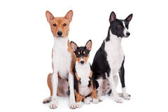 Three basenjis isolated on white. Three basenjis (tricolor, black and red color coats Royalty Free Stock Photo