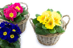 Three baskets with colorful primroses Royalty Free Stock Photos