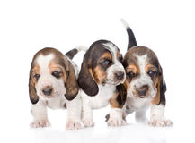 Three basset hound puppies standing in front. isolated on white.  royalty free stock photos