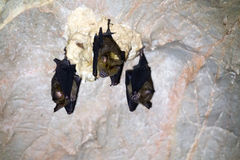 Three bats in a cave Royalty Free Stock Images