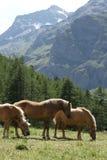 Three bay horses on a grazing land on italian alps Stock Photography